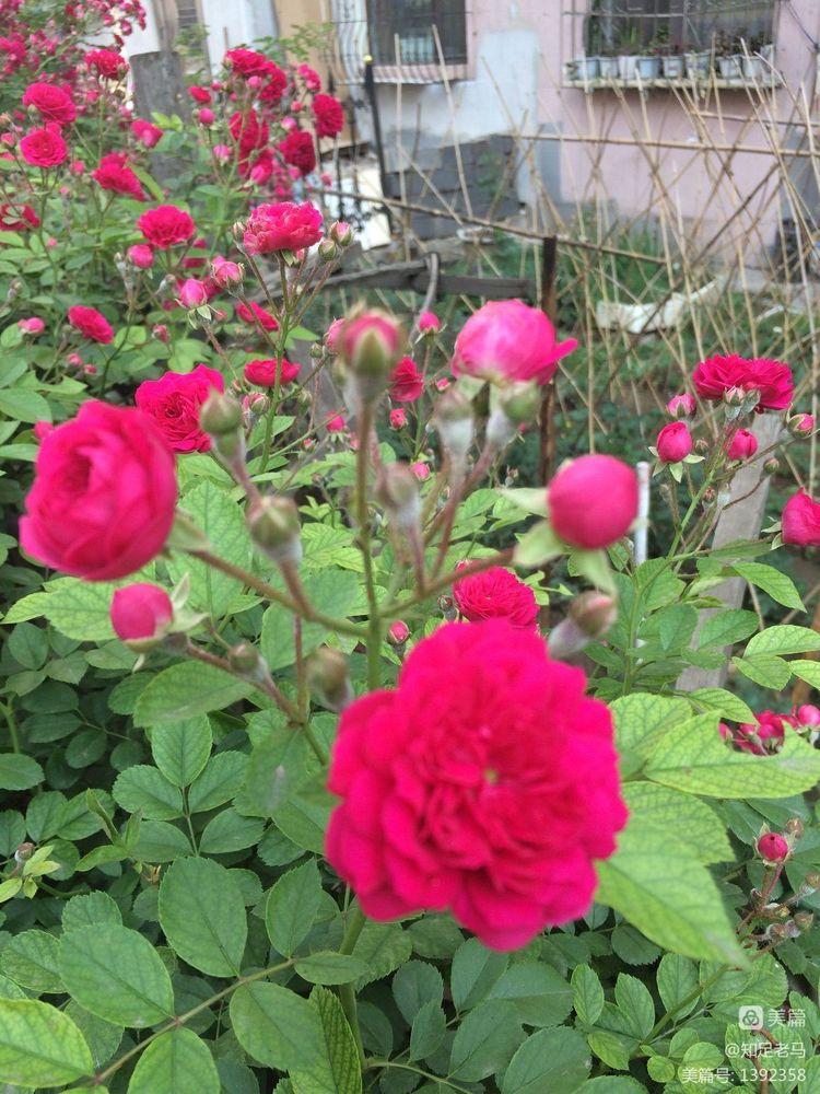 欣赏小区蔷薇花(诗一首)【诗词习作】 - 知足老马 - 知足老马