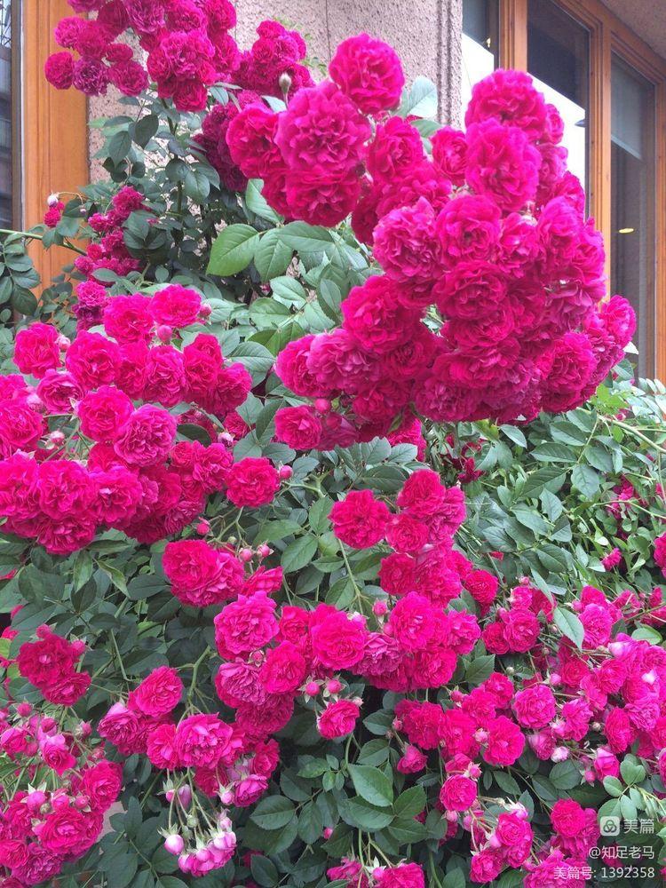 蔷薇(诗一首)【诗词习作】 - 知足老马 - 知足老马
