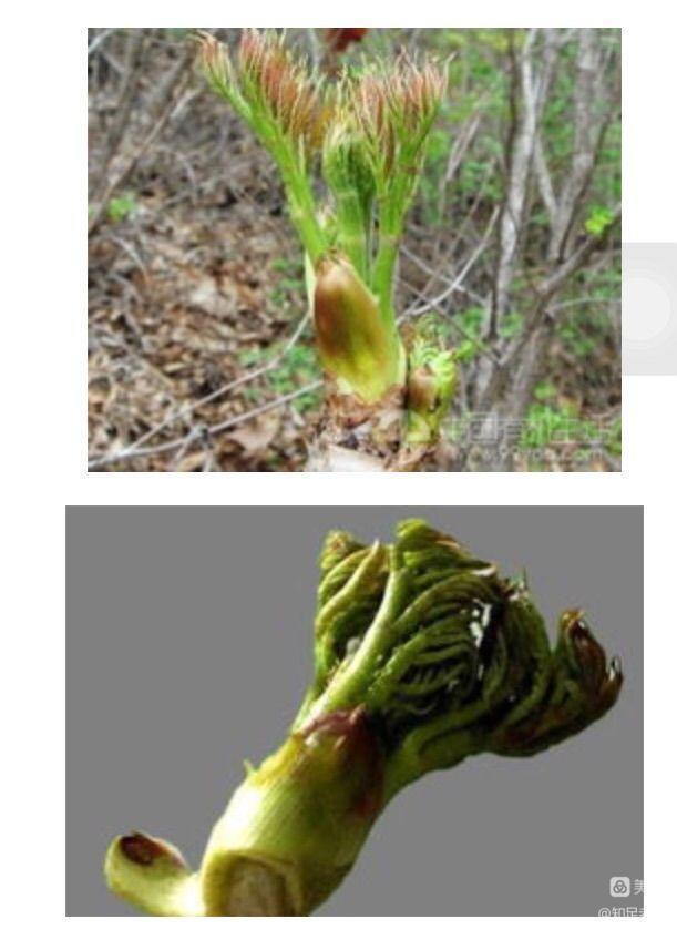 山野菜(诗二首)【诗词习作】 - 知足老马 - 知足老马